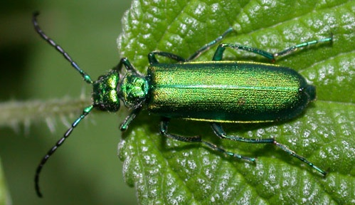 Cantharis Beetle