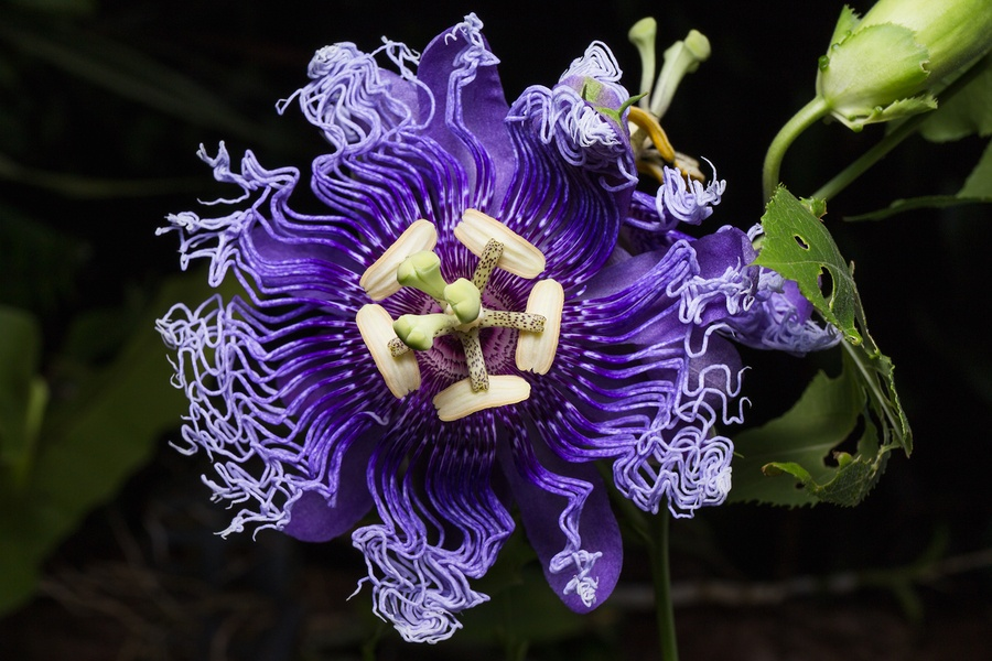 Know Your Remedies: Passiflora incarnata (Passi