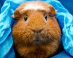 Guinea Pig Homeopathy! 1