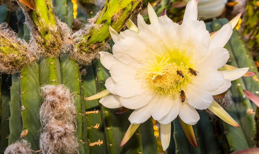 Know Your Remedies: Cactus grandiflorus (Cact.) 1