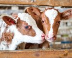 Homeopathic Remedies for Calf Rearing 1