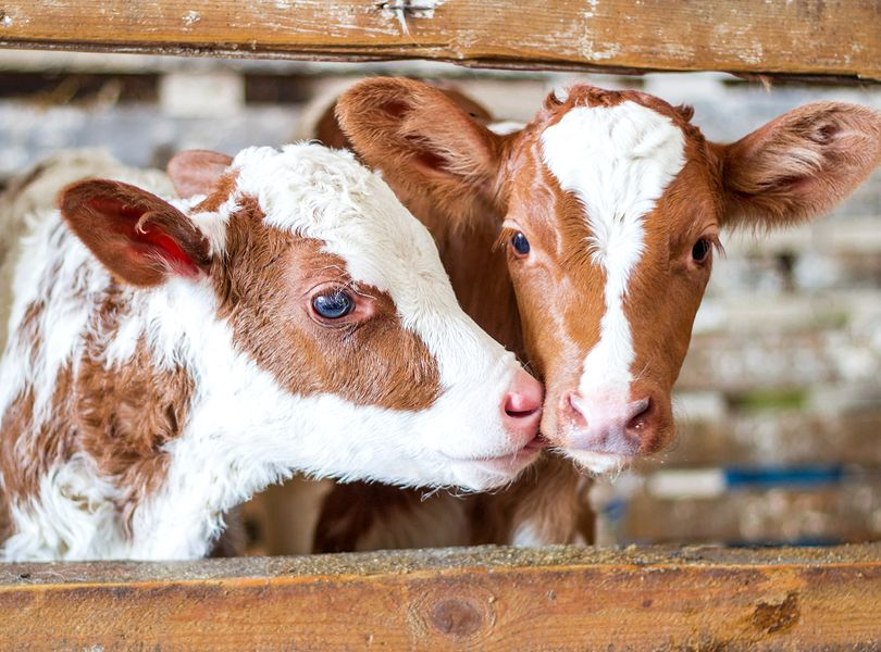 Homeopathic Remedies for Calf Rearing 4