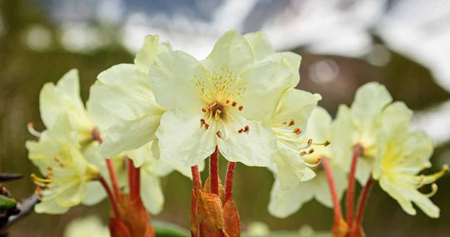 Know Your Remedies: Rhododendron Chrysanthum (Rhod.) 5