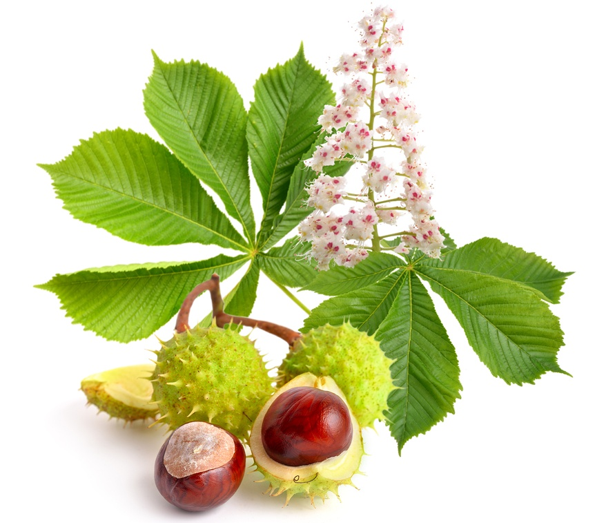 Know Your Remedies: Aesculus hippocastanum (Aesc.) 1