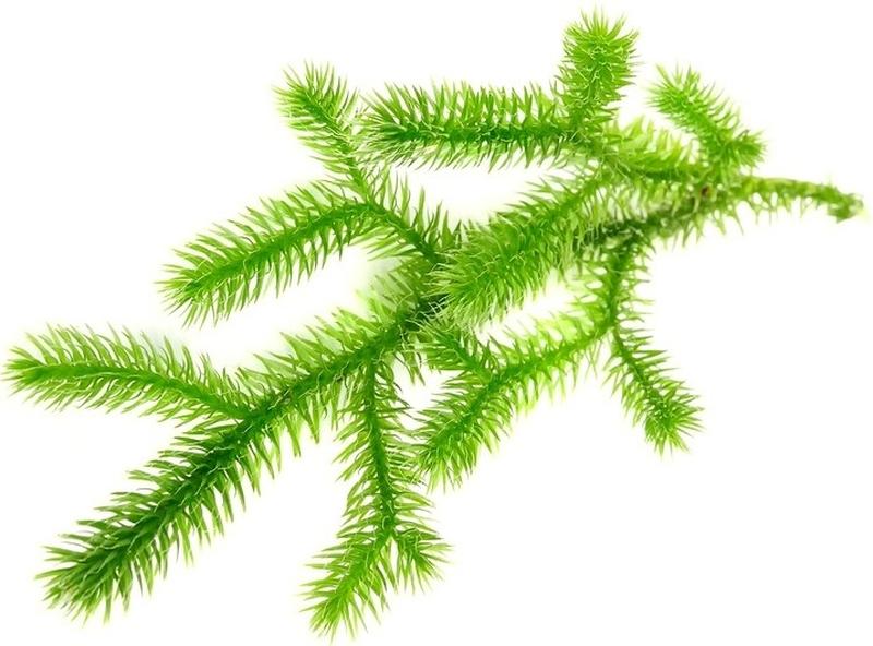 Homeopathic Lycopodium 5
