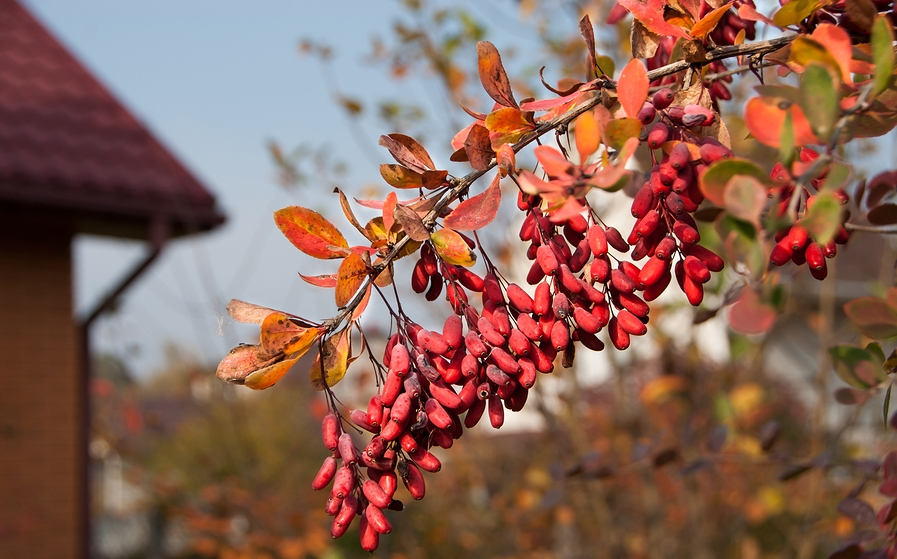 Know Your Remedies: Berberis Vulgaris (Berb.) 4