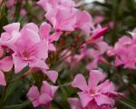 Know Your Remedies: Oleander (Olnd.) 1