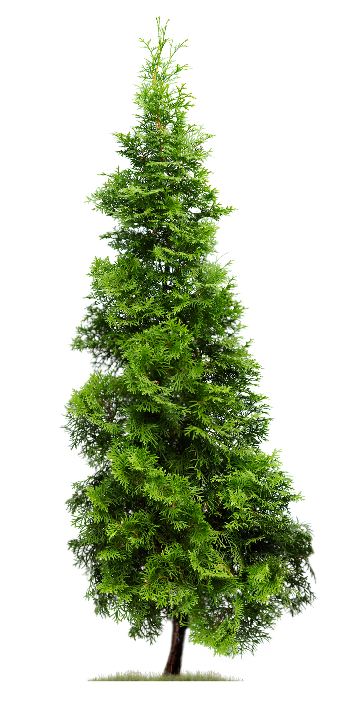 Know Your Remedies: Thuja occidentalis (Thuj ) - Homeopathy Plus