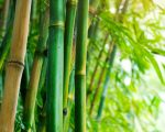 Homeopathic Bamboo 1