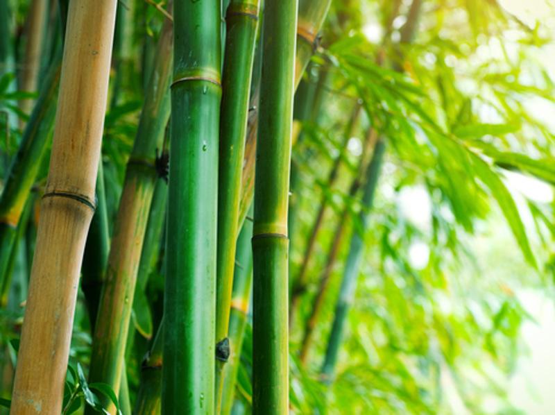Homeopathic Bamboo 1