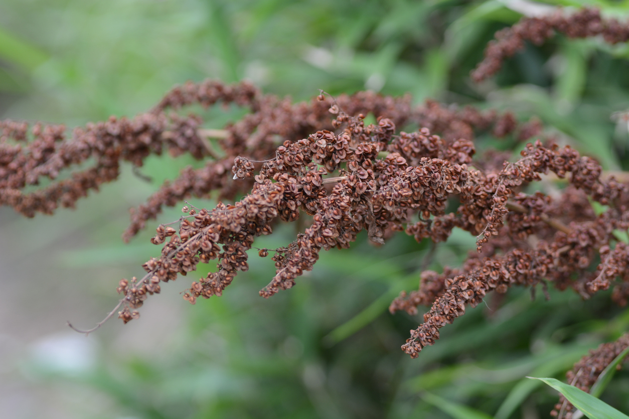 Know Your Remedies: Rumex Crispus (Rumx.) 1