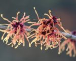 Know Your Remedies: Hamamelis Virginica (Ham.) 7