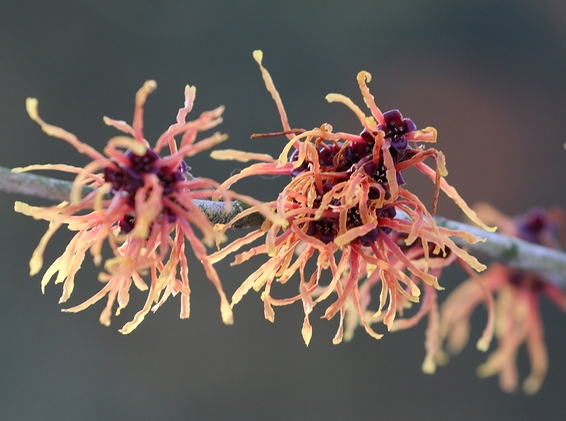 Know Your Remedies: Hamamelis Virginica (Ham.) 2