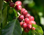 Know Your Remedies: Coffea Cruda (Coff.) 1