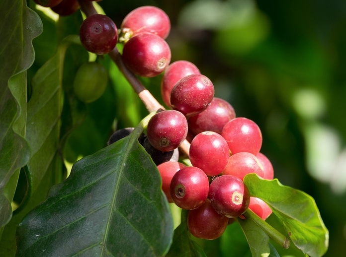 Know Your Remedies: Coffea Cruda (Coff.) 3
