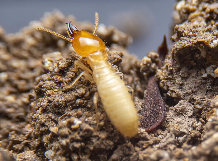 Kaviraj on Fleas, Termites & More 7