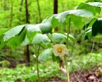 Know Your Remedies: Podophyllum Pentaltum (Podo.) 1