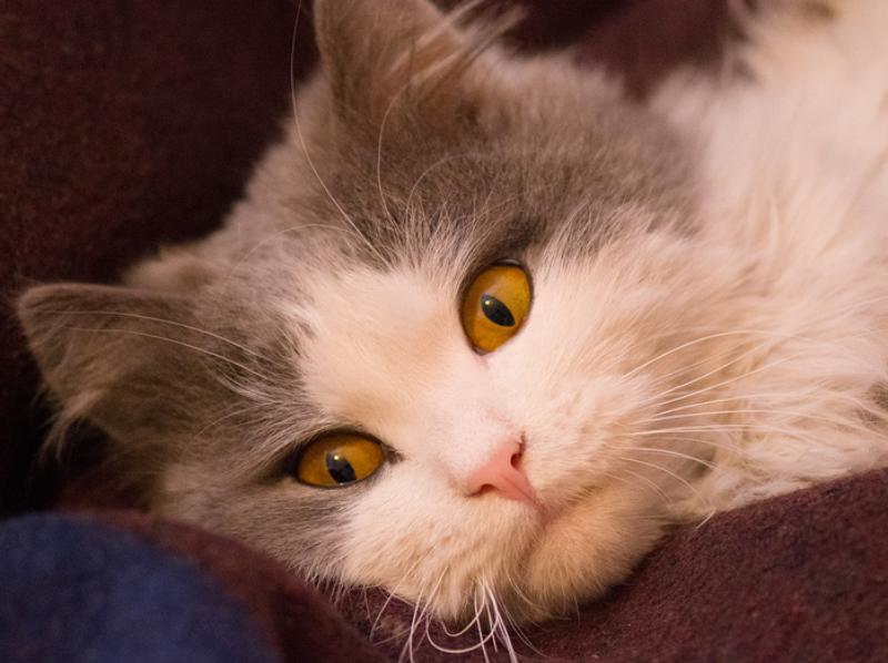 Homeopathy for Feline Hyperthyroidism 1