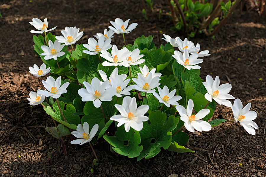 Know Your Remedies: Sanguinaria Canadensis (Sang.) 1
