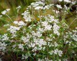 Know Your Remedies: Eupatorium Perfoliatum (Eup-per.) 8