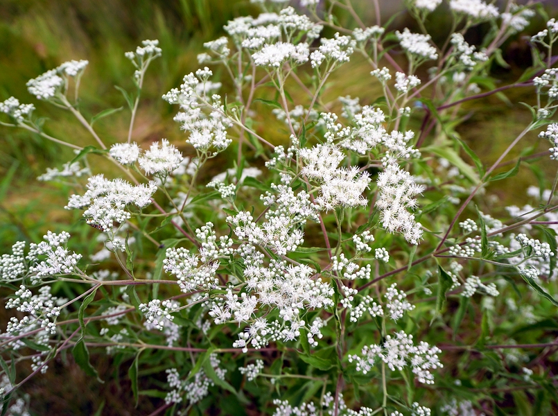 Know Your Remedies: Eupatorium Perfoliatum (Eup-per.) 11