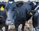 Homeopathy Reduces Antibiotics in Cows 2