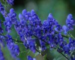 Boericke on Aconitum Napellus 23