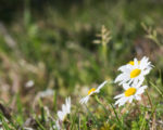 Know Your Remedies: Bellis Perennis (Bell-p.) 8