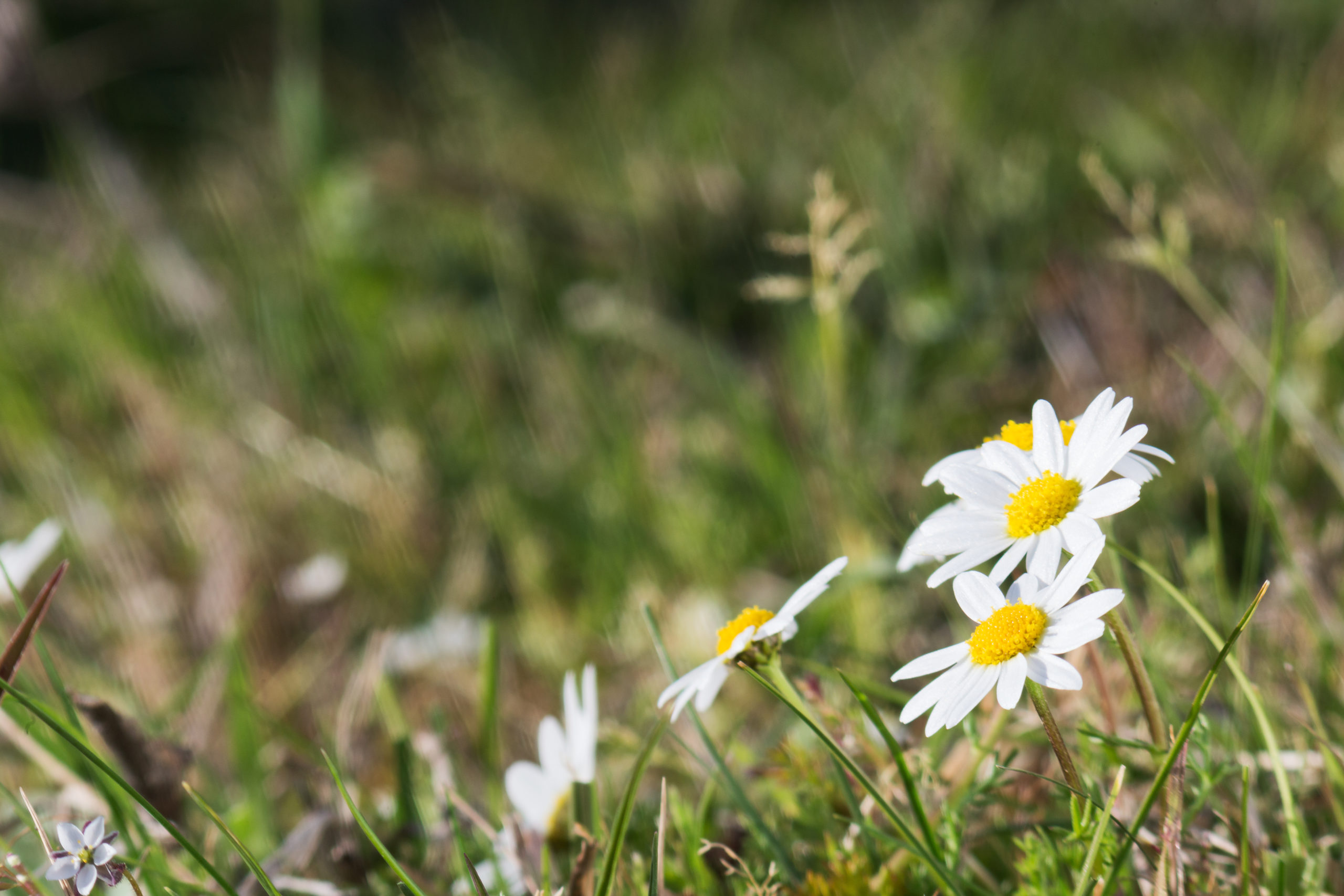 Know Your Remedies: Bellis Perennis (Bell-p.) 1